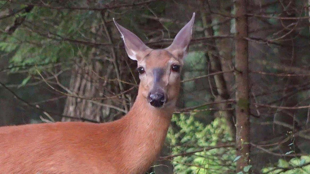 아침밥 먹으러 오는 엄마 사슴과 아기 다람쥐 Mother Deer And Baby Chipmunk Visit For Breakfast