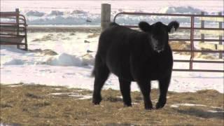 Tag 108 - GOET I-80 heifer