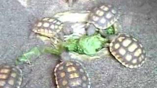 Hungry Baby Tortoises