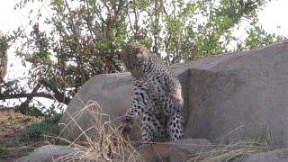 Танзания. Серенгети. Дикие кошки Африки. Леопард играет со своей добычей.