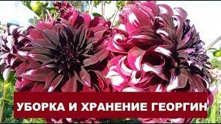 видео Цветы георгины: хранение, фото георгин. Выращивание, сорта, каталог: черный георгин, золотые георгины, однолетние, как купить семена георгин.