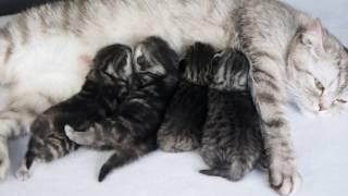 Британские котята мраморные и пятнистые http://gala-cat.ru