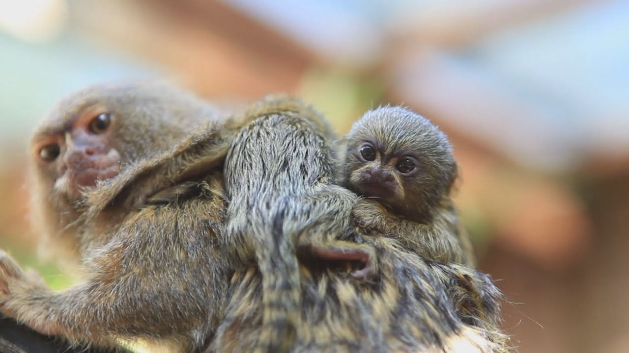 Introducing the tiniest and cutest monkey in the world youtube introducing the tiniest and cutest monkey in the world voltagebd Image collections