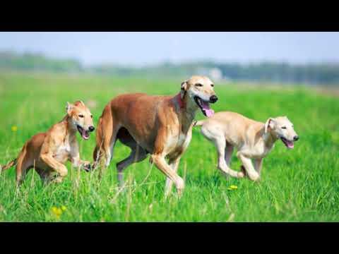 Hortaya Borzaya - large dog breed