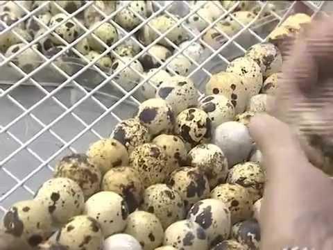 перепелиные яйца полезны мужчинам