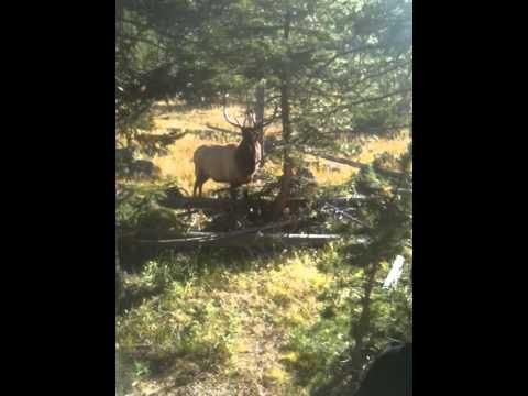 Elk in Yellowstone.MOV