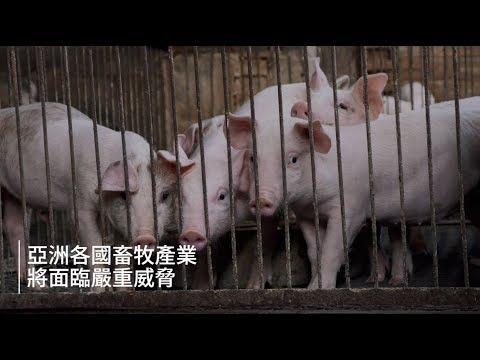 非洲豬瘟宣導影片(防堵非洲豬瘟,守護國產豬刻不容緩)