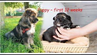 Finnish Lapphund puppy first 12 weeks