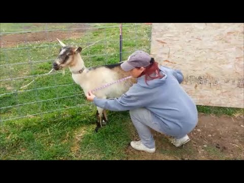 Weighing A Goat