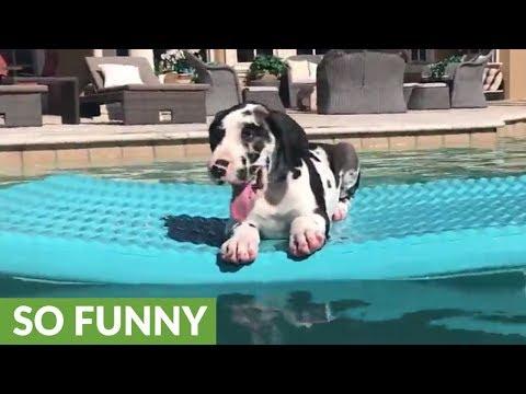9-week-old Great Dane puppy loves his pool floatie