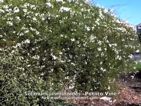 Solanum jaminoides potato vine youtube solanum jaminoides potato vine mightylinksfo