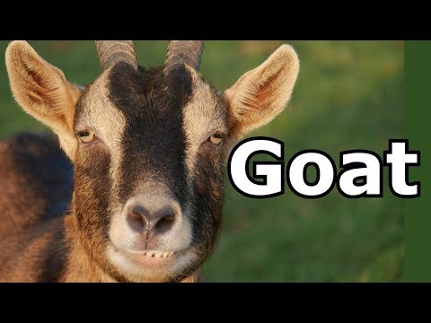 Goat Sounds Goat Pictures The Sound A Goat Makes Animal Sounds