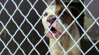 Braveheart Abused Pit Bull ID# A4227626