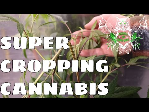 Super Cropping Cannabis | How to Super Crop Marijuana I How to Grow Weed