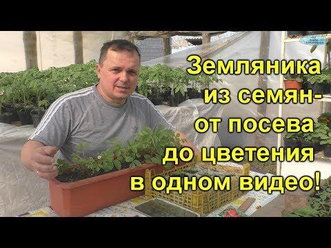 Земляника из семян- от посева до цветения! | выращивание | подкормка | земляника | семена | своими | руками | огород | сроки | посев | когда