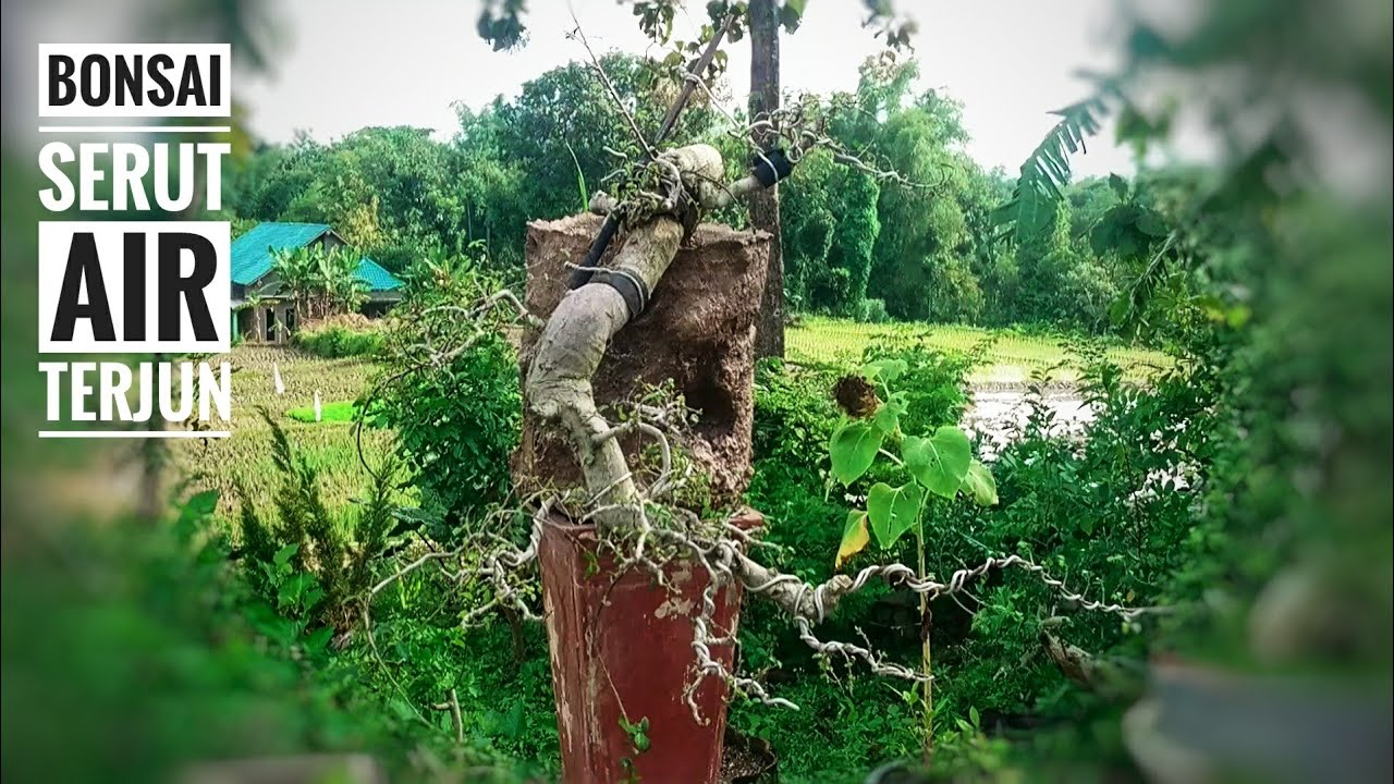 Belajar Bonsai Serut Gaya Air Terjun Pruning Daun Youtube