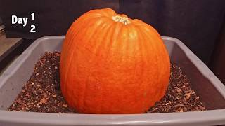 Pumpkin vs Red Wigglers 62-day time-lapse - FAST PLAYBACK - vermicomposting