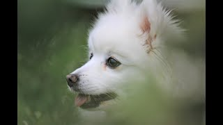 What's Up With My Japanese Spitz