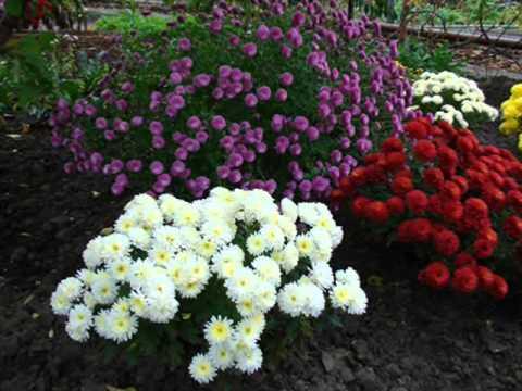Цветы хризантемы на вашей даче. Хризантемы фото