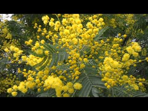 Acacia Dealbata Paddock Plants Buy Online Uk