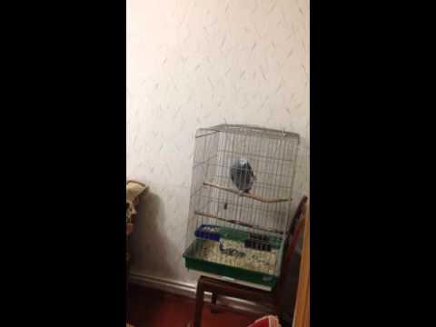Веселый армянский попугай