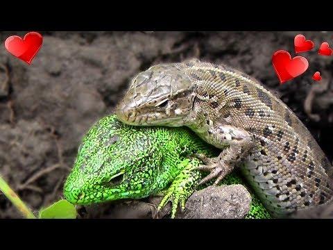 Ящерицы Lizard прикольные животные - Макро видео съёмка SkyVlad Video Archive