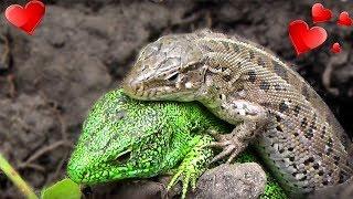 ЯЩЕРИЦЫ Lizards прикольные милые животные 😍 Макро видео съёмка ящериц