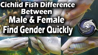 Cichlid Fish Difference Between Male And Female Find Gender Quickly Urdu And Hindi Youtube