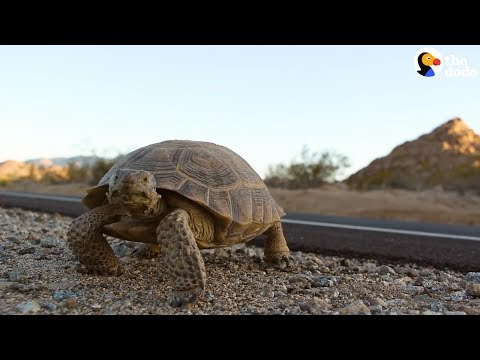 How To Move A Tortoise Crossing The Road   The Dodo