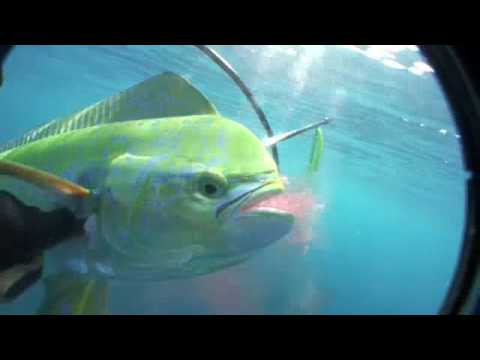 Dolphin Mahi Mahi dorado Pole spear fishing freediving