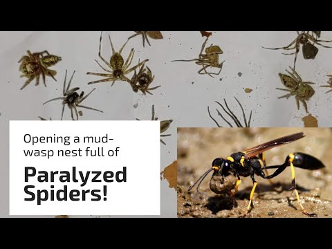 Mud Wasp Catches Over 25 Spiders For Her Nest!