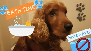 How to SHOWER a VERY DIFFICULT but sweet dog   COCKER SPANIEL [Coby]  