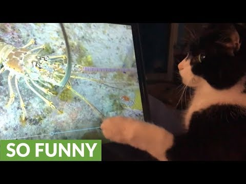 Cat is fascinated by giant lobster on computer screen
