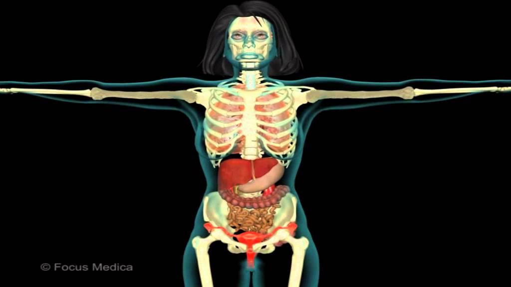 Unser Körper in 3D - Skelett und Muskulatur - YouTube