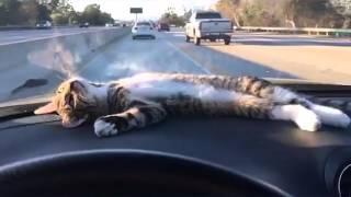 車に乗るのが好きな猫もいる。ダッシュボードの上のぐで猫