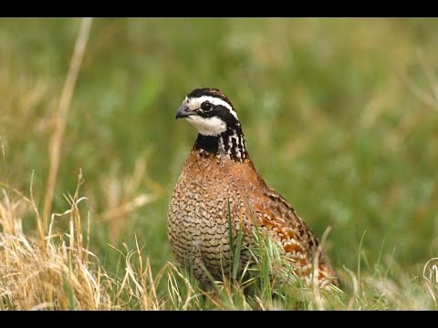 Wildlife for Lunch - October - Coffee Shop Quail Talk Myths and Misconceptions