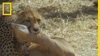 Hyena Steals a Cheetah's Kill | Savage Kingdom