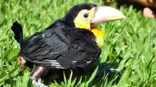 Índio o tucano de  bico verde