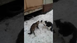 Драка двух котов воронеж