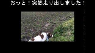 元カメラマンと殺処分されかけた元狩猟犬の散歩 https://usamidai.ameba...