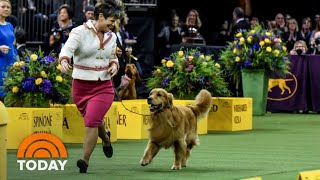 Meet Daniel, The Golden Retriever Who Stole Hearts At Westminster | TODAY
