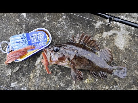 Will Canned Anchovy Catch Fish? Experiment!