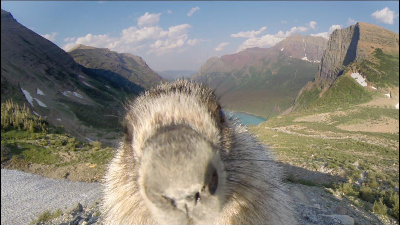 Fox Animal Wallpaper Marmot Licks Gopro Youtube