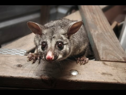 how-to-get-rid-of-possums-from-a-roof?