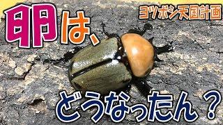 昆虫採集☆クワガタ&カブトムシ ヨツボシヒナカブト達の卵のその後・・...