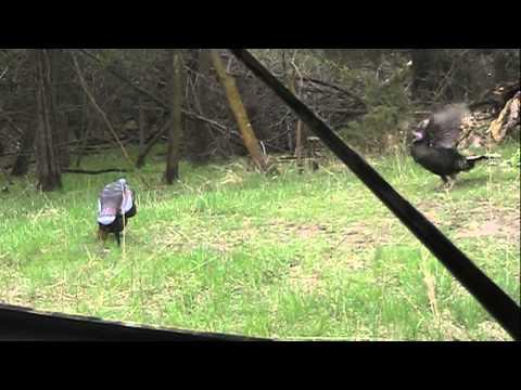 Gobbler GUILLOTINE Archery Turkey Headshot In Nebraska