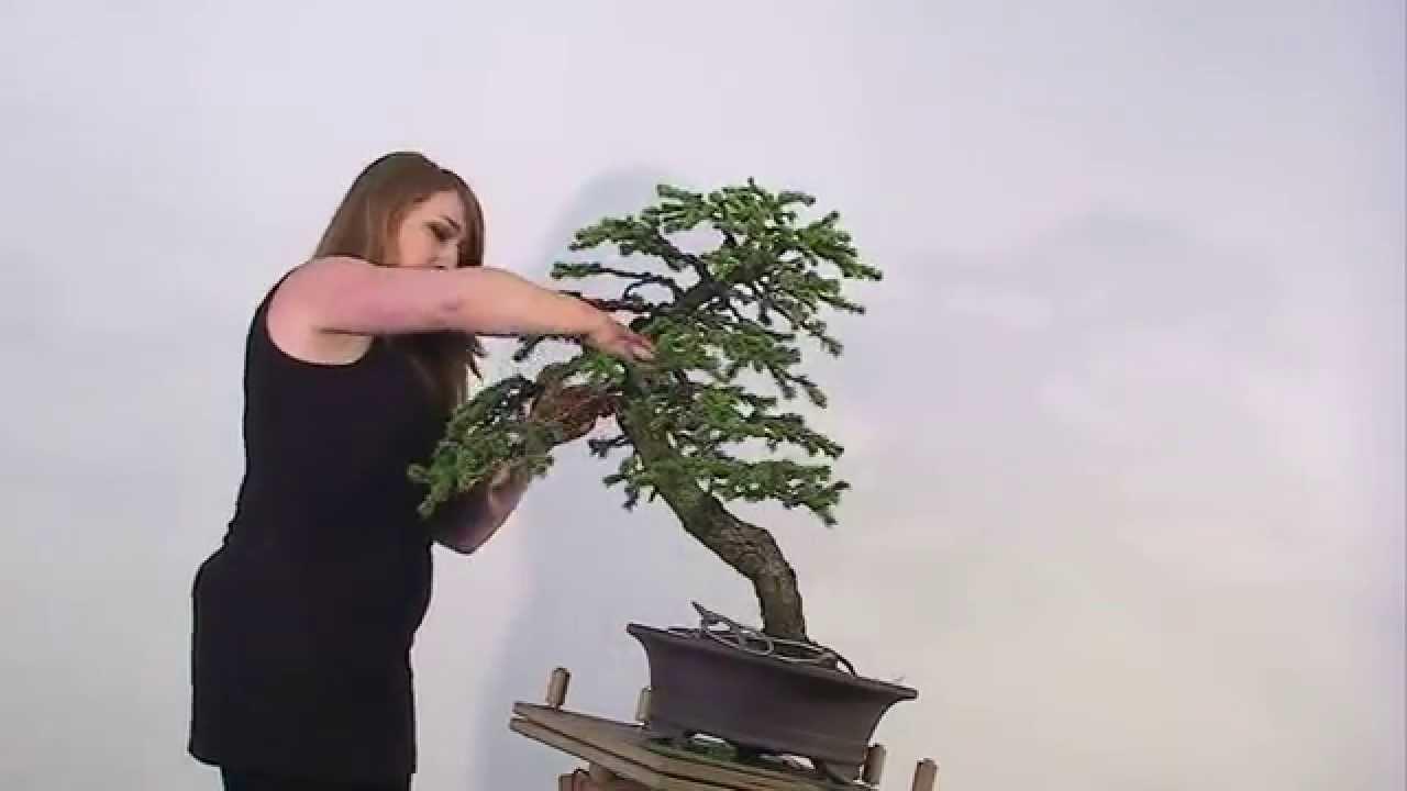 Bonsai Gestalten bonsai erstgestaltung schwarz fichteandrea junger - youtube