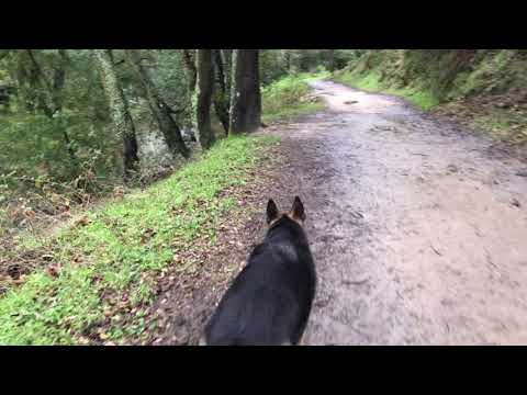 Cows Encounter Hiking with German Shepherd Part 2 of 3 Hiking with Dog