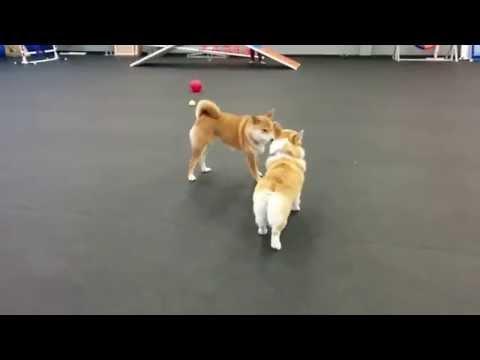 Corgi playing with Shiba Inu