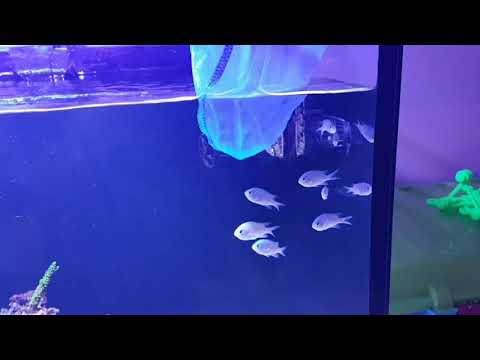 Reefer 450 Introducing 8 More Chromis Into The Tank And The Alpha Takes Control From Get Go.